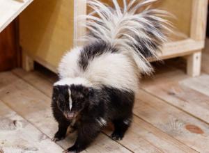 Уникальные скунсы из Лимпопо с удаленными железами запаха впервые появились в ростовском зоопарке