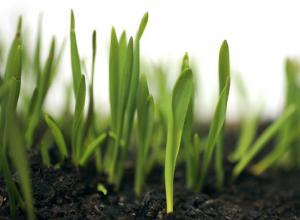 «Сингента» поднимает обработку семян на новый уровень