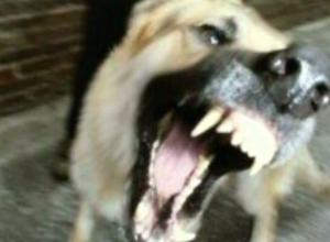 В Ростовской области дворовая собака убила бешеную лису