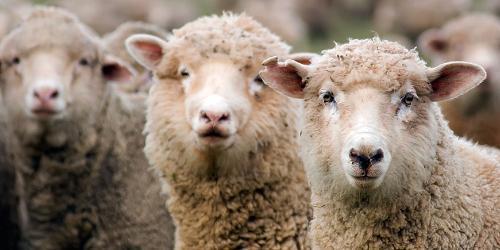 Милиция задержала вора овец вРостовской области