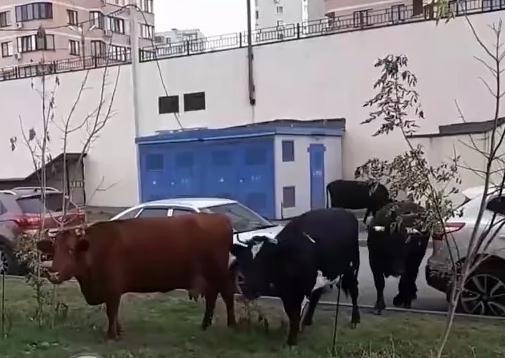 В Ростове стадо коров заметили на лужайке у многоэтажного дома