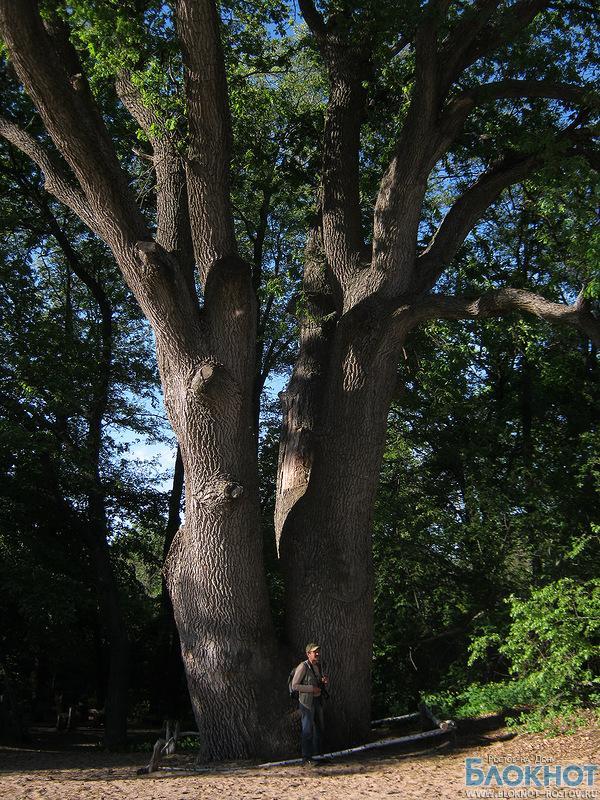 Вешенскому дубу вручили сертификат памятника живой природы