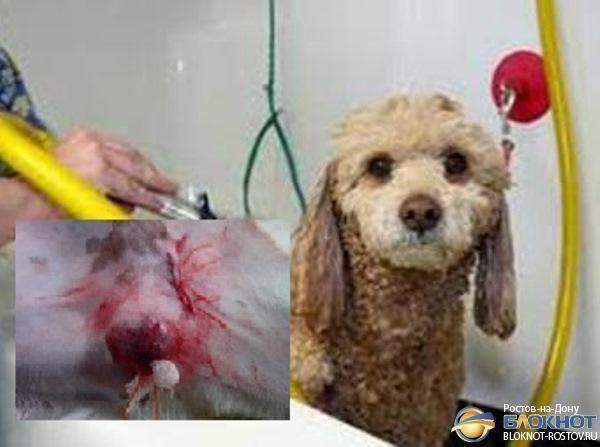 Ростовские ветеринары вылечили кобеля от бесплодия, вшив ему донорские органы