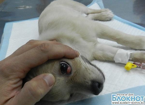В Ростове собаке спасли глаз, вправив выпавшую слезную железу