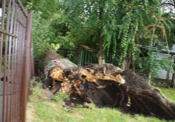 Огромный тополь упал на женщину в Батайске