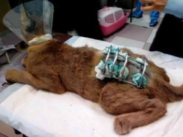 Ростовские ветеринары спасли каракала, вставив в сломанный позвоночник конструкцию из спиц
