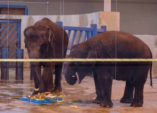 В ростовском зоопарке отпраздновали день рождения слоненка Ситары