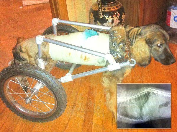Ростовские ветеринары спасли собаку с травмой позвоночника: пес передвигается на инвалидной коляске