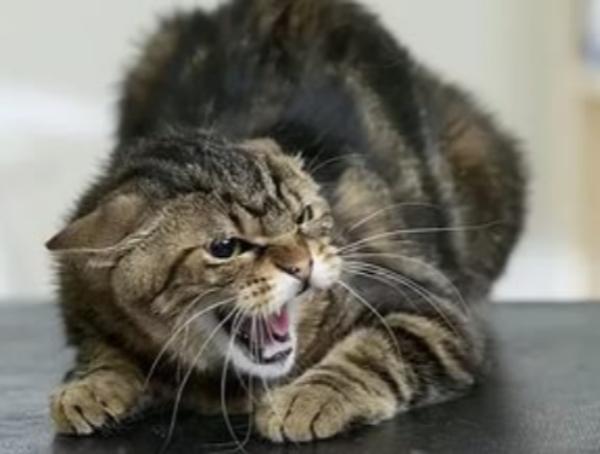 ЧПвстанице Егорлыкской, на молодого человека 22 лет отроду напала бешеная кошка