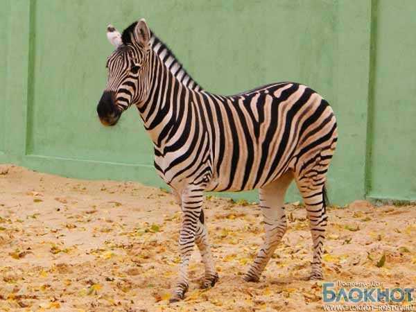 В зоопарке Ростова поселились зебры из Чехии