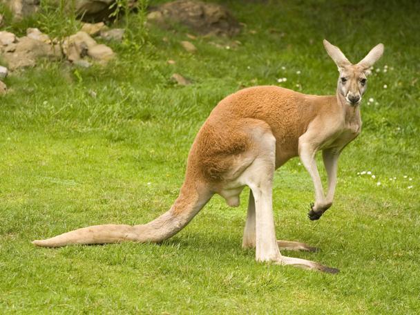 Явам кенгуру, авымне— енотов: новые жильцы Ростовского зоопарка