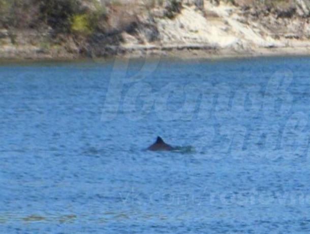 Заплывшие вДон дельфины попали навидео Семикаракорском районе