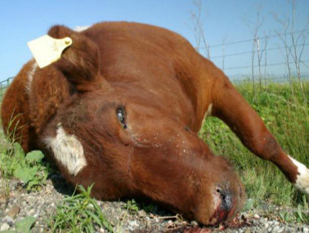 Зловонный «призрак» павшей коровы пять дней витал над детской площадкой в Ростовской области