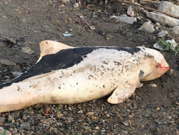 Окровавленный труп дельфина обнаружили отдыхающие на морском пляже под Ростовом