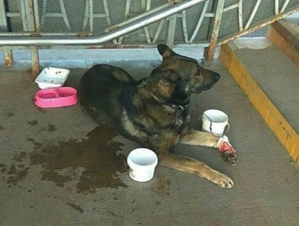 Окровавленными лапами собирать милостыню с прохожих заставляют собаку-попрошайку в Ростове