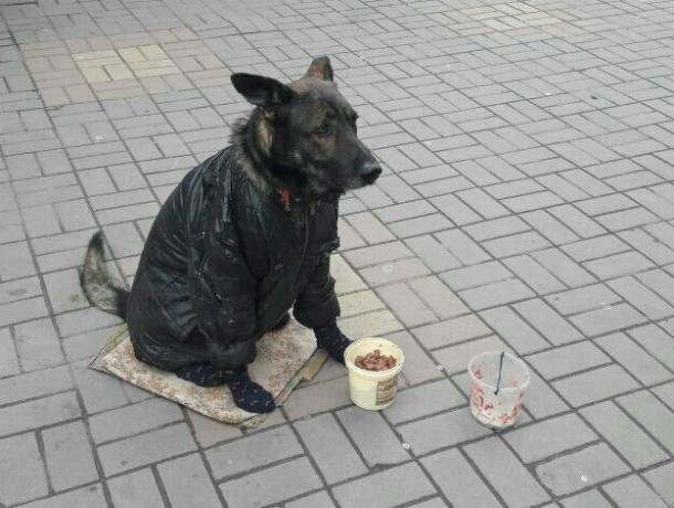 «Гастролирующую» по Ростовской области собаку-попрошайку снова выставили с «протянутой лапой» на улицу