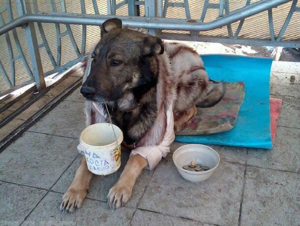 Жестоких хозяев собаки-попрошайки с отрезанными лапами разыскивают в Ростове