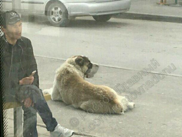 Добродушного бездомного алабая обвинили в поедании домашних псов в Ростове
