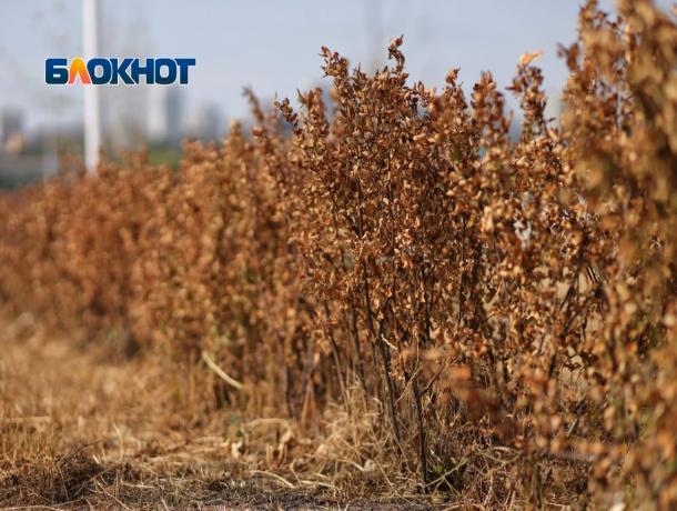 Глава Ростова признал, что впарке «Левобережном» деревья неприжились