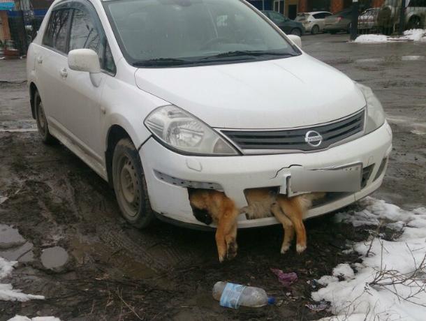 Отморозок на Nissan с мертвым псом в бампере шокировал горожан в Ростовской области