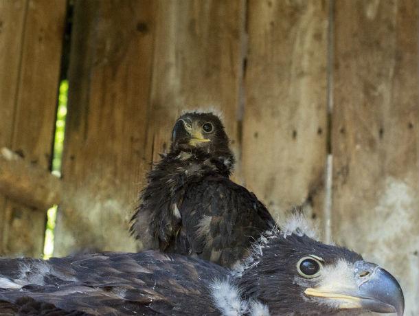 В Ростове появились молодые белохвостые орланы