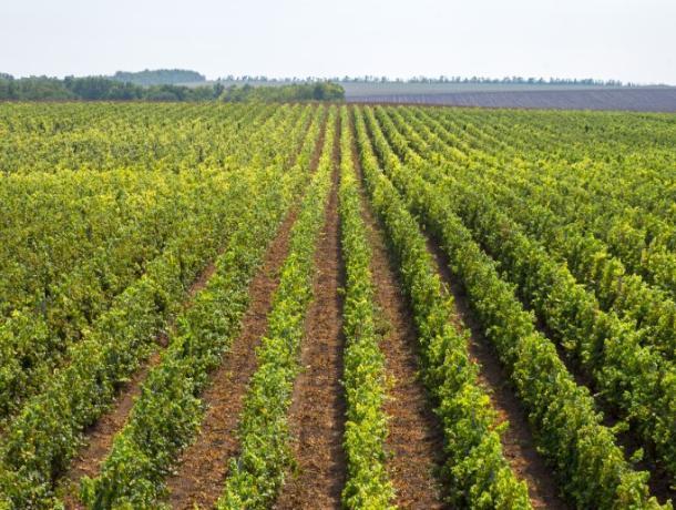 Ростовский винодел отказался от экспорта продукции в Китай ради России