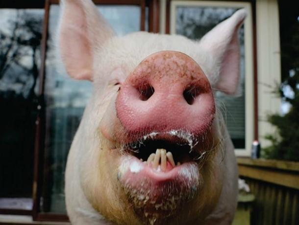 Увлекательный квест «поймай свинью» запустили жильцы многоэтажки в центре Ростова