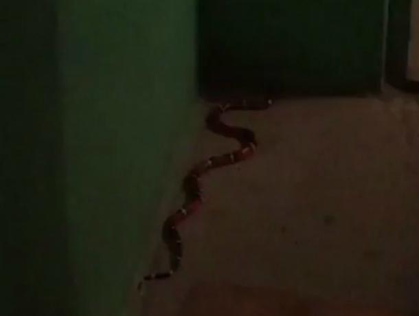 Ползающий по подъезду Ростова «страшно красивый» ядовитый змей «атаковал» жильца на видео
