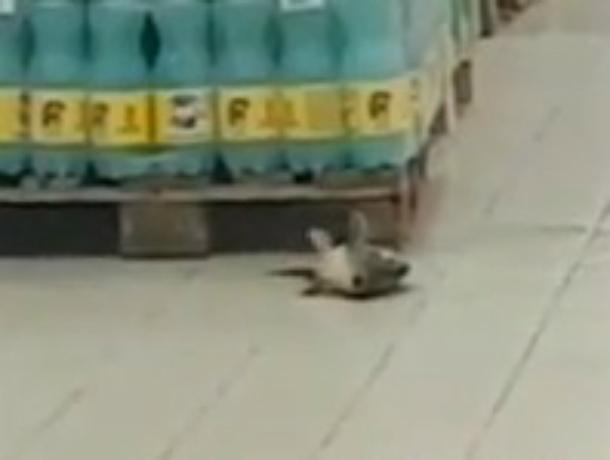 Легкомысленно дерзкий побег огромной рыбы из гипермаркета Ростова попал на видео