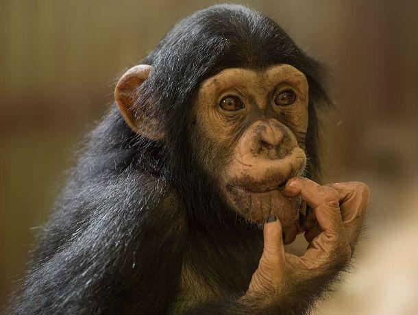В Ростов из Челябинска приехала малышка-шимпанзе
