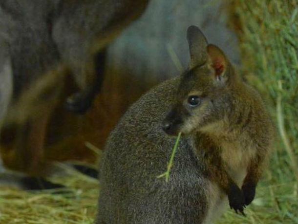 В зоопарке Ростова родился маленький кенгуру Беннета