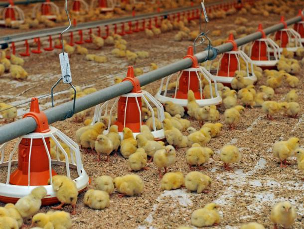Жуткую антисанитарию и опасные условия труда обнаружили на птицефабрике в Ростовской области