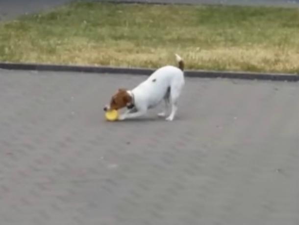 Маленькая смелая собака украла и порвала «пищащий» символ коррупции под Ростовом на видео