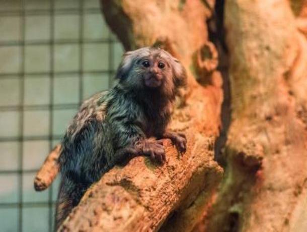Прибавление в ростовском зоопарке: обезьяны-игрунки обзавелись потомством