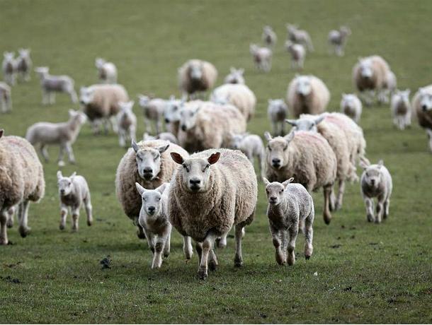 Отару овец практически наполмиллиона руб. угнали вРостовской области