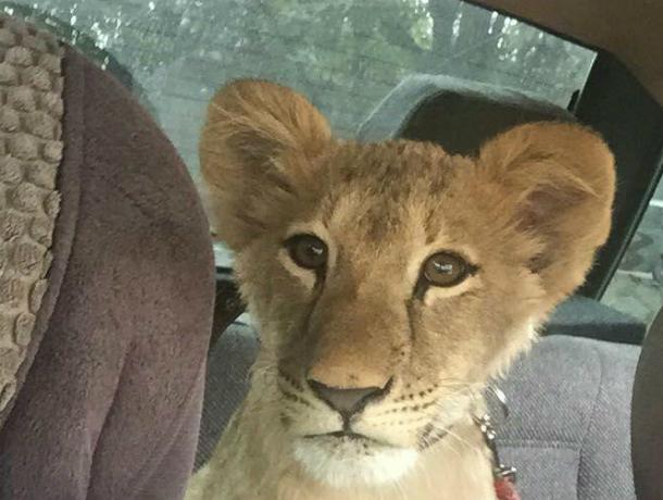 Пассажирка ростовского такси маленькая львица вызвала умиление уростовчан