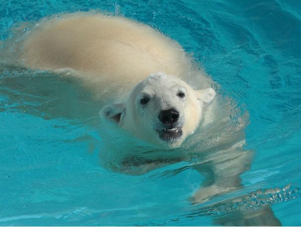 Ради любви к ростовчанке белый медведь из Удмуртии преодолеет полстраны