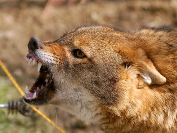 Опасный бешеный шакал попался на мушку охотникам в лесу Ростовской области