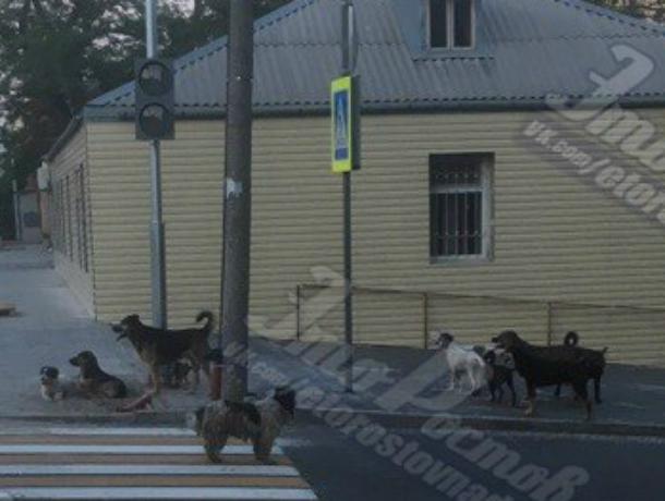Огромная стая агрессивных бродячих собак терроризирует жителей старого центра Ростова