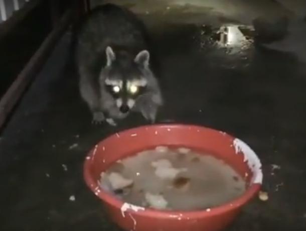 Хитрые еноты со сверкающими глазами пришли к людям за едой