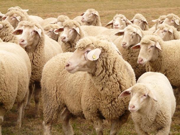 Изхозяйства вОбливском районе украли 190 овец икоз