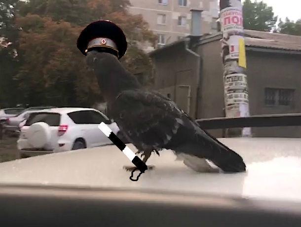 «Душа полицейского вселилась в голубя», - ростовчан удивило странное поведение птицы