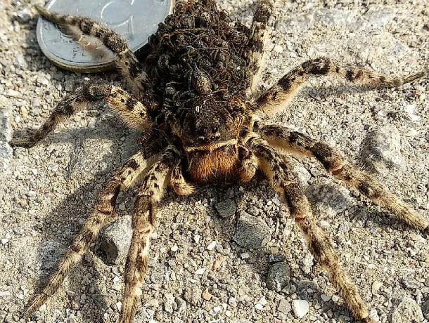 Самка ядовитого тарантула с детенышами атаковали дачный участок жительницы Ростова