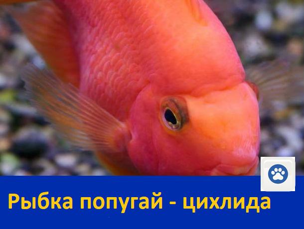 Продается шикарная рыбка попугай - цихлида