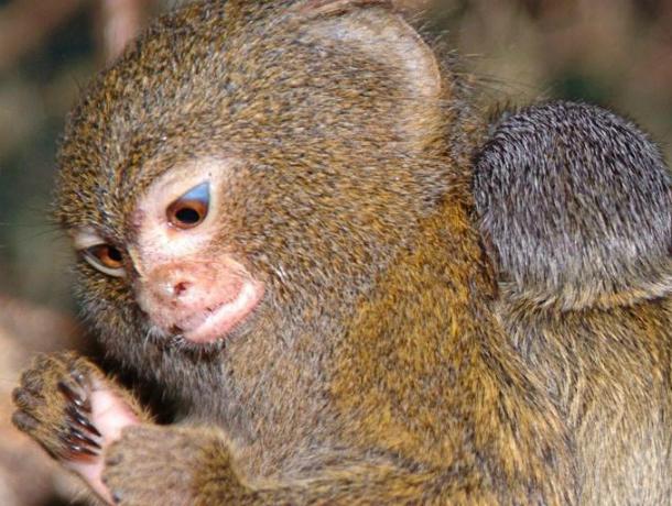 Взоопарке Ростова родился детеныш самой маленькой обезьянки вмире