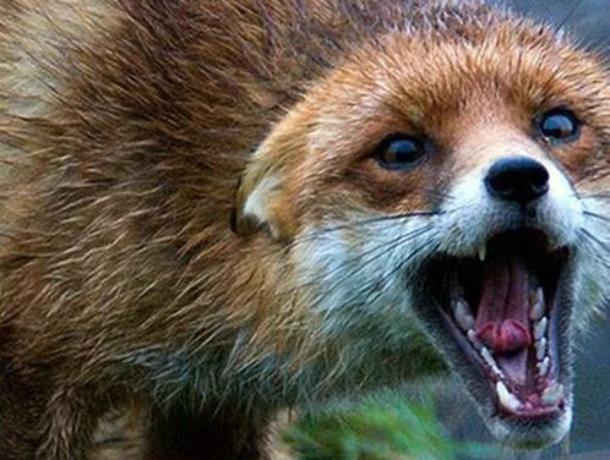 ВРостовской области застрелена бешеная лиса