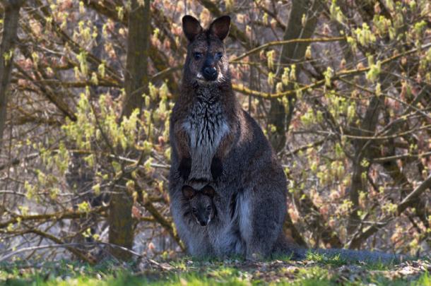 Малыш, размером с фасоль: в ростовском зоопарке родился кенгуренок