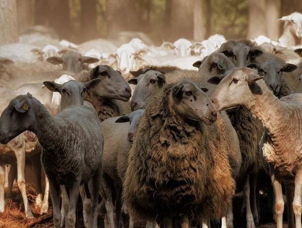 ВРостовской области задержали стадо баранов без документов