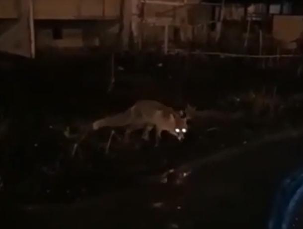Голодная лиса гуляла по ростовским дворам в поисках угощений