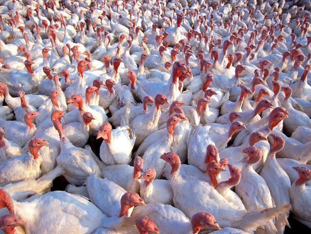 Из-за угрозы птичьего гриппа под нож мясника могут отправиться 35 тысяч индюков в Ростове